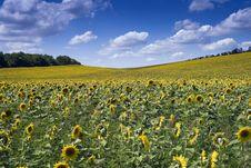 Free Sunflower Field Stock Photos - 10177173