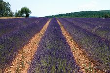 Free Rows Of Lavender Stock Images - 10177344