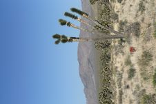 Joshua Trees In Mojave Desert, California Stock Image