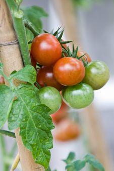 Free Tomato Royalty Free Stock Images - 10177959
