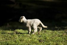 Free Young Running Lamb Stock Photos - 10178323