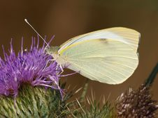 Free Large White Butterfly Stock Photography - 10179552