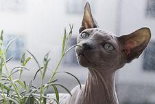 Free Cat, Hairless Cat, Sphynx, Donskoy Stock Image - 101745651