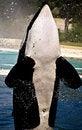 Free Killer Whale Stock Photo - 10182540