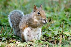 Free Mother Squirrel Eating Royalty Free Stock Photography - 10180617