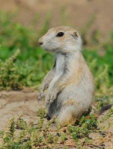 Free Prairie Dog Pose Stock Image - 10182601