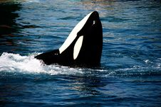 Free Killer Whale Stock Photography - 10182672