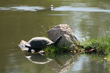 Water Turtle Stock Photos