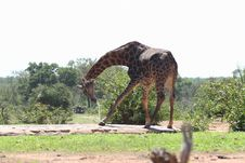 Free Drinking Giraffe Royalty Free Stock Photography - 10182797