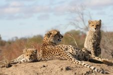 Free Cheetah Mother And Cubs Royalty Free Stock Photos - 10183088