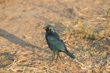 Free Glossy Starling Stock Images - 10183124