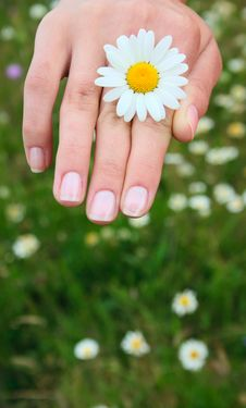 Free Camomile In A Hand Royalty Free Stock Photography - 10183517