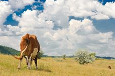 Rear View Of A Cow Stock Images