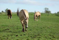 Free Grazing Horses Stock Image - 10184771