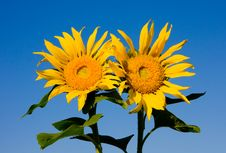 Free Sunflowers Stock Photos - 10184933