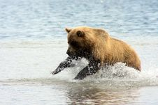 Free Fishing Bear Stock Photography - 10185292