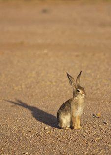 Cottontail Rabbit Royalty Free Stock Photos