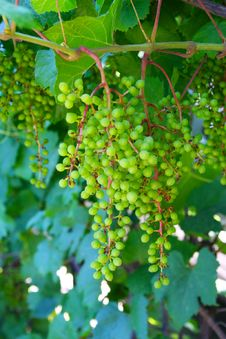 Free Young Grape Stock Images - 10186674