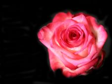 Free Scarlet Rose Stock Photo - 10186700