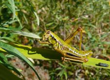 Free Grasshopper 18 Stock Images - 10188064
