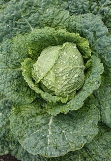 Free Savoy Cabbage Head Stock Photography - 10188312