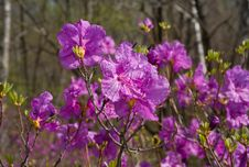 Flowers Of Rhododendron 24 Stock Photography