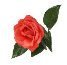 Free Scarlet Rose Stock Image - 10188371