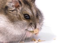 Dwarf Hamster Eating Pumpkin Seed Royalty Free Stock Photos