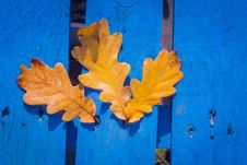 Free Fall Oak Leaves On Blue Stock Photography - 101841462