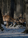 Free Fighting Two Deer Royalty Free Stock Photos - 10190748