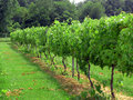 Free Vineyard In Daylight Royalty Free Stock Images - 10197069