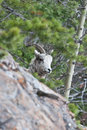 Free Bighorn Sheep Stock Photography - 10197872