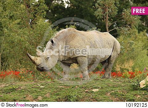 Free White Rhino Royalty Free Stock Photo - 10192125