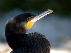 Free Cormorant At The Beach Royalty Free Stock Photography - 10190197