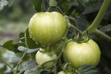 Free Fresh Unripe Tomatoes,with Water Drops Royalty Free Stock Photography - 10190407