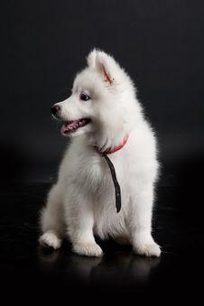 Free Husky Puppy Stock Photo - 10190520