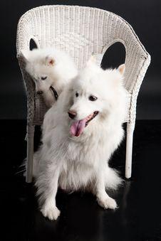 Free Husky Stock Photo - 10190730