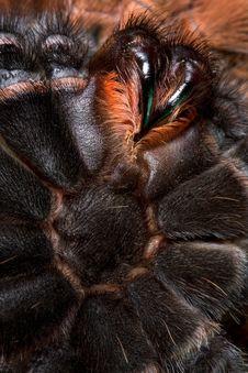 Free Tarantula From Underneath Royalty Free Stock Photo - 10191255