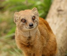 Free Yellow Mongoose Stock Images - 10191944