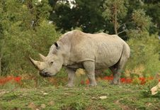 Free White Rhino Royalty Free Stock Photo - 10192125