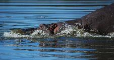 Free Hippo (Hippopotamus Amphibius) Stock Images - 10192404