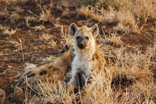 Young Spotted Hyaena (Crocuta Crocuta) Royalty Free Stock Images