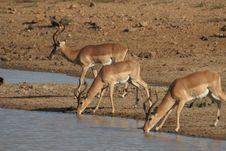 Free Impalas At Water Hole Stock Photography - 10194342