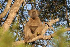 Free Lazy Baboon Royalty Free Stock Photos - 10194358
