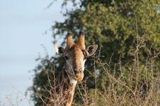 Free Giraffe Stock Image - 10194371