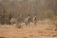 Free Zebras Stock Image - 10194401