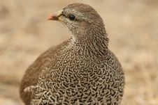 Free Grouse Stock Photography - 10194422