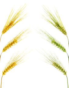 Free Wheat Ears Isolated On White Background Royalty Free Stock Photos - 10196948
