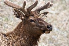 Free Elk Stock Image - 10197841