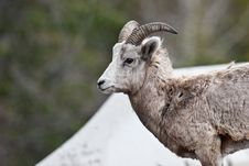 Free Bighorn Sheep Stock Photo - 10197870